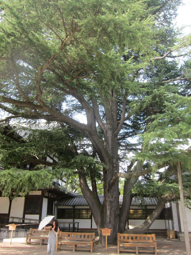 栗林公園大木