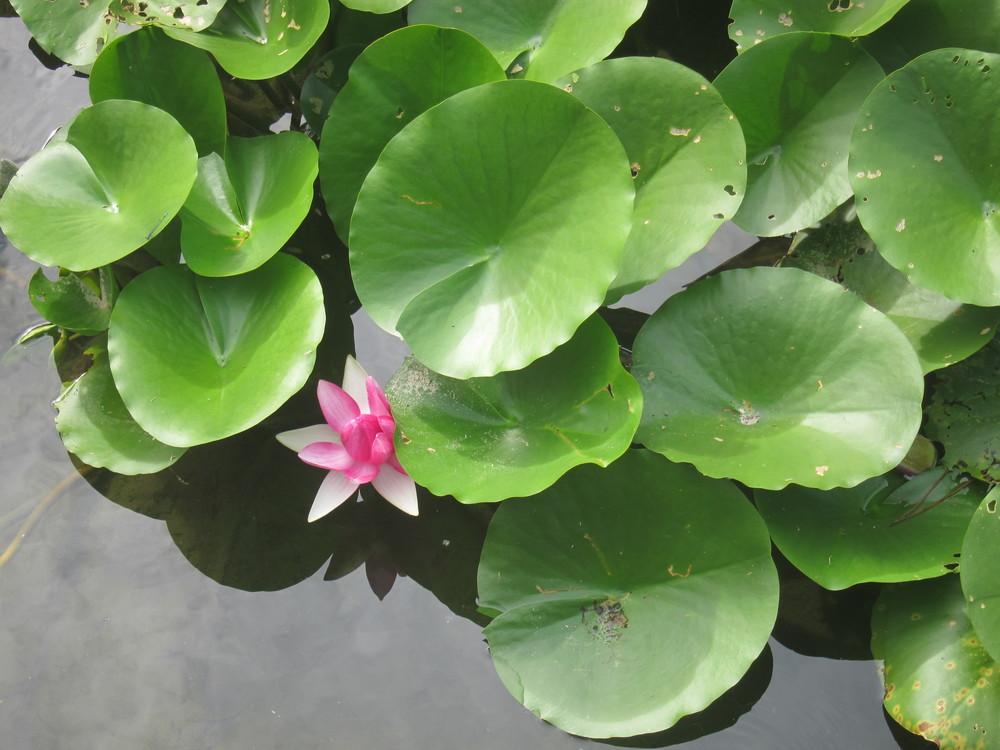 栗林公園蓮の花