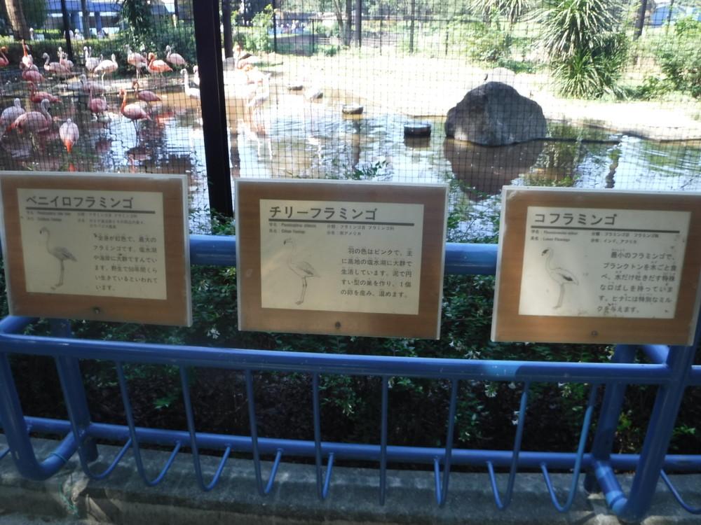 千葉市動物公園フラミンゴ