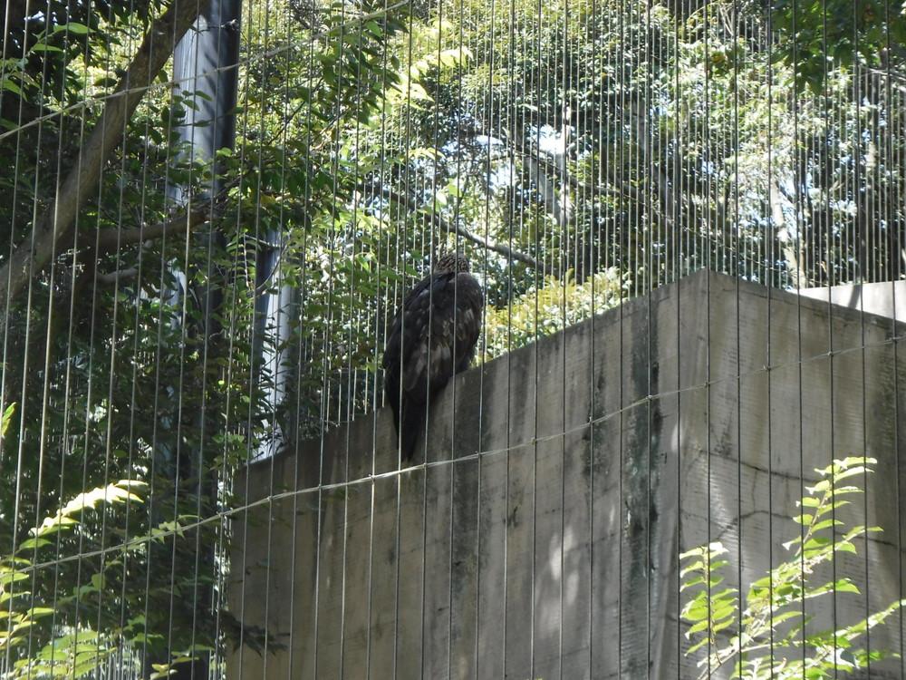 千葉市動物公園 イヌワシ