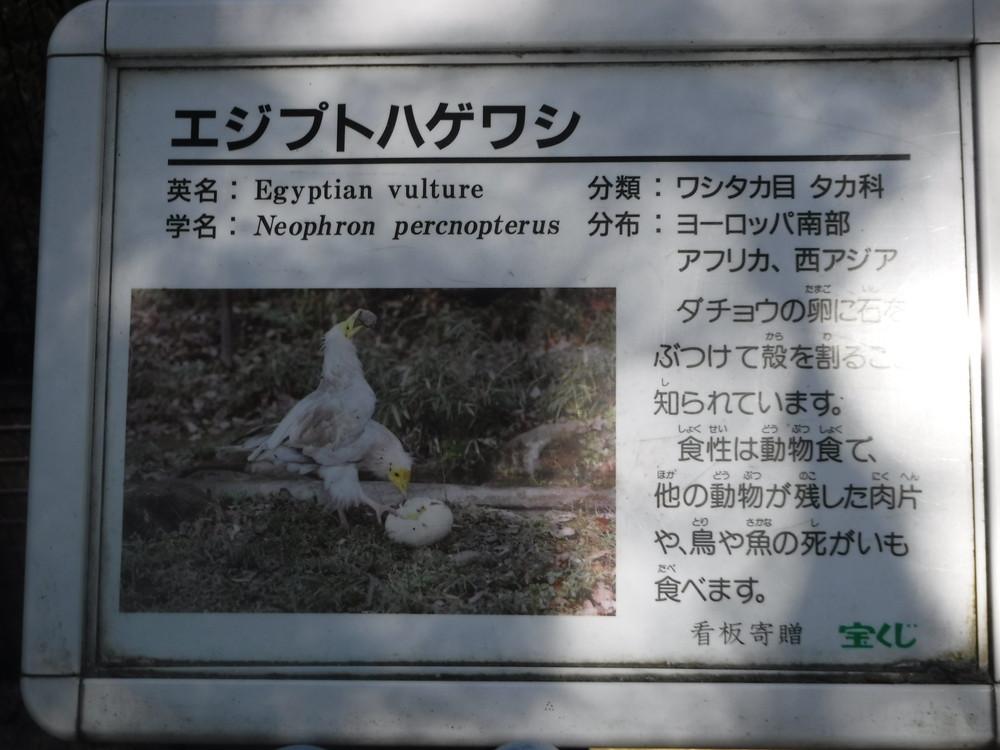 千葉市動物公園 エジプトハゲワシ