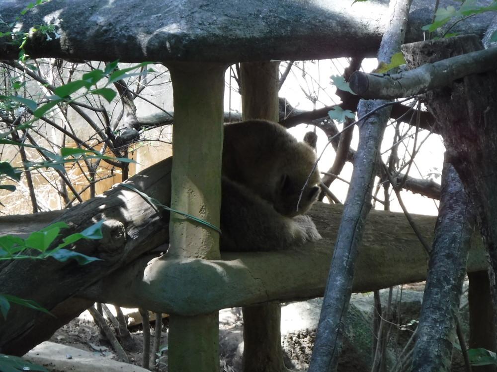 千葉市動物公園 アカハナグマ
