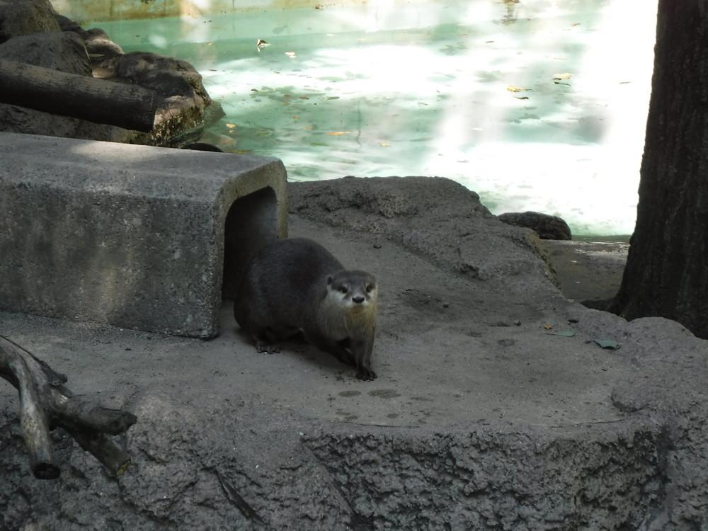 千葉市動物公園 カワウソ