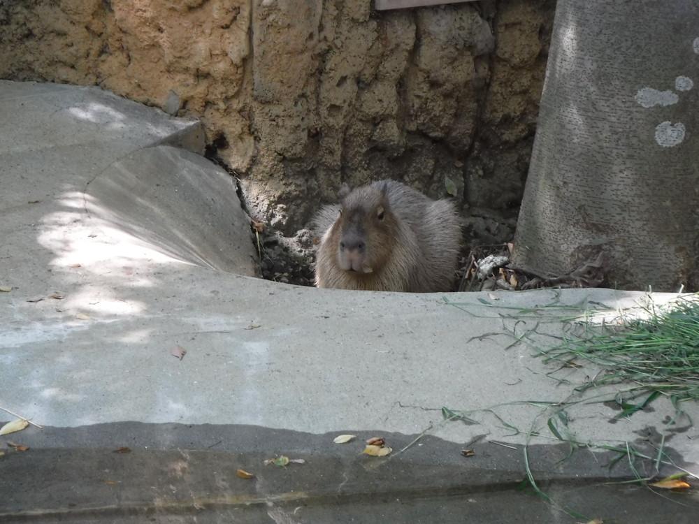 千葉市動物公園 カピバラ