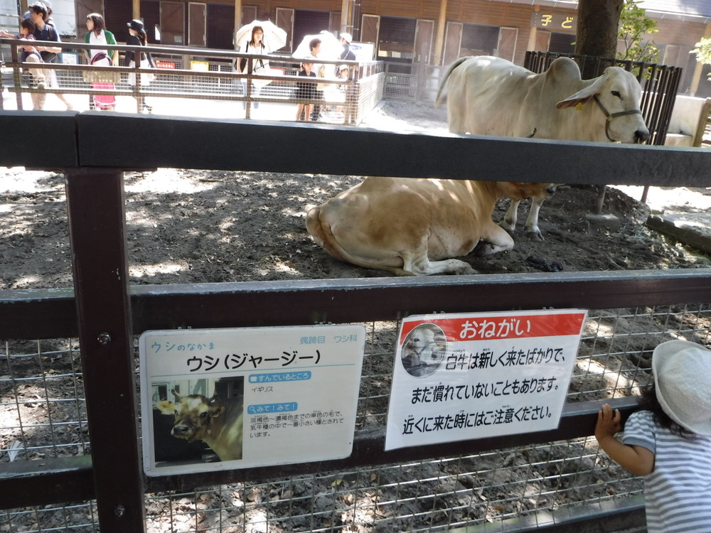 千葉市動物公園 ジャージー牛