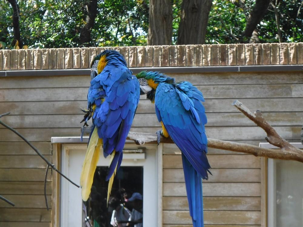 千葉市動物公園 ルリコンゴウインコ