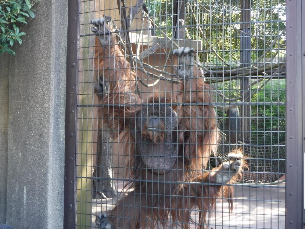 千葉市動物公園 オラウータン