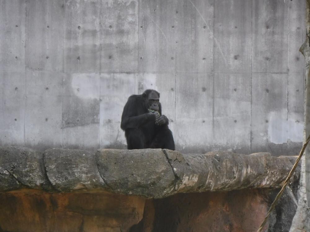 千葉市動物公園 チンパンジー