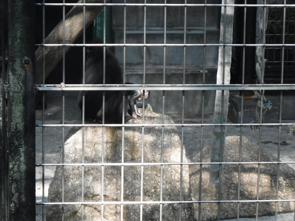 千葉市動物公園 クロザル