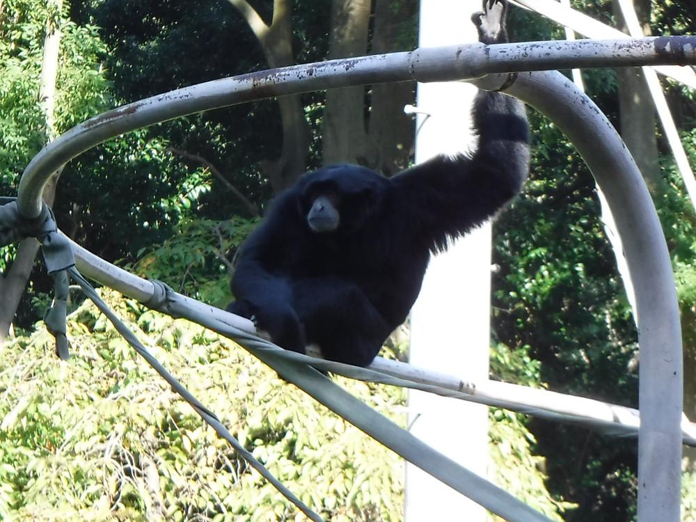 千葉市動物公園 フクロテナガザル