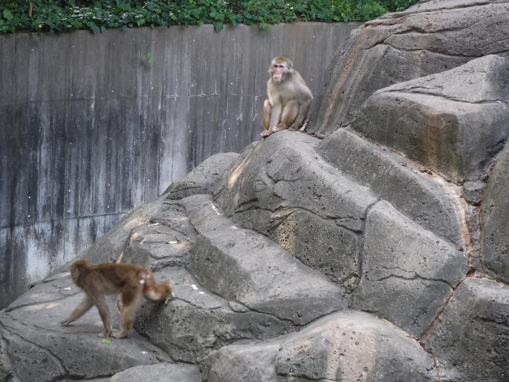 千葉市動物公園 ニホンザル