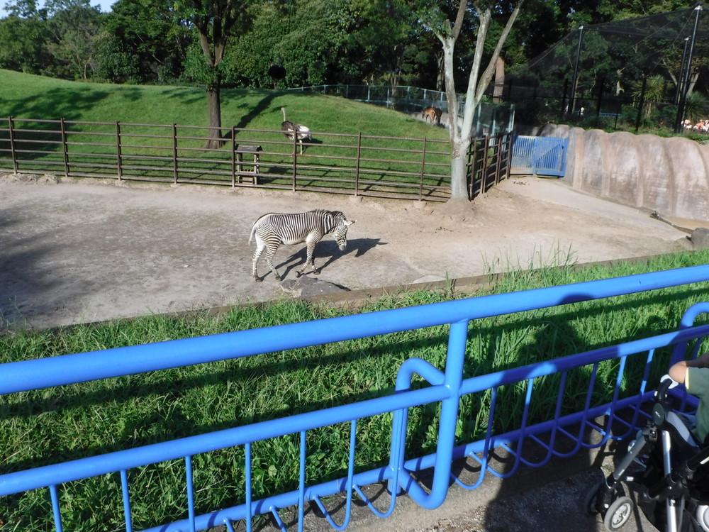 千葉市動物公園 シマウマ