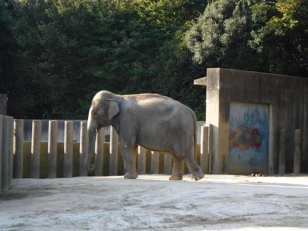 千葉市動物公園ゾウ