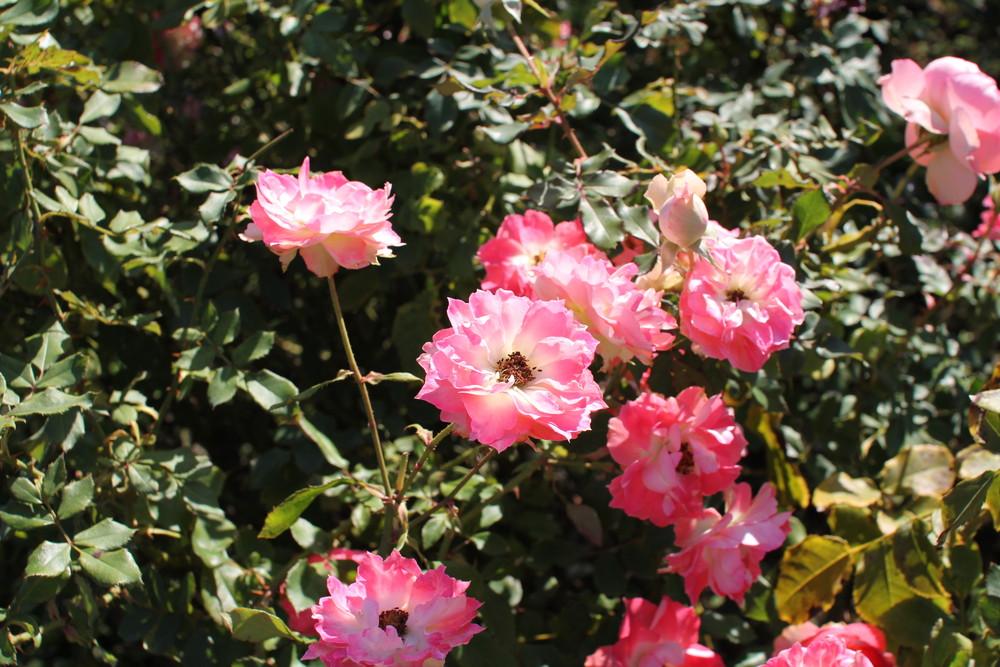 11月の京成バラ園開花情報るる