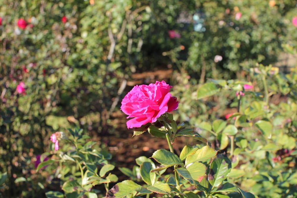 11月の京成バラ園開花情報グラマラスラッフル