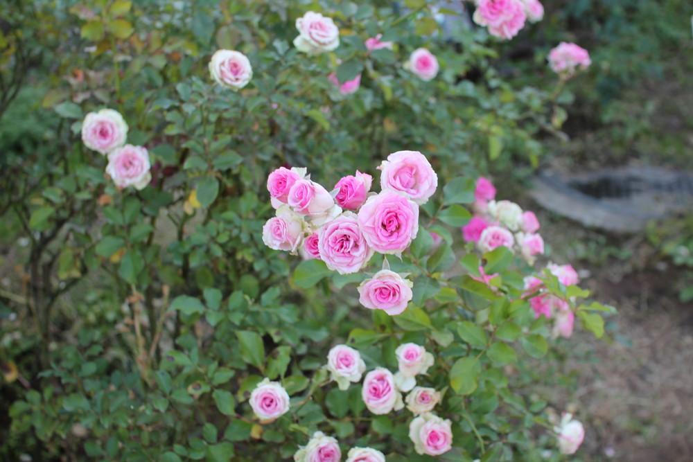 11月の京成バラ園開花情報ミミエデン