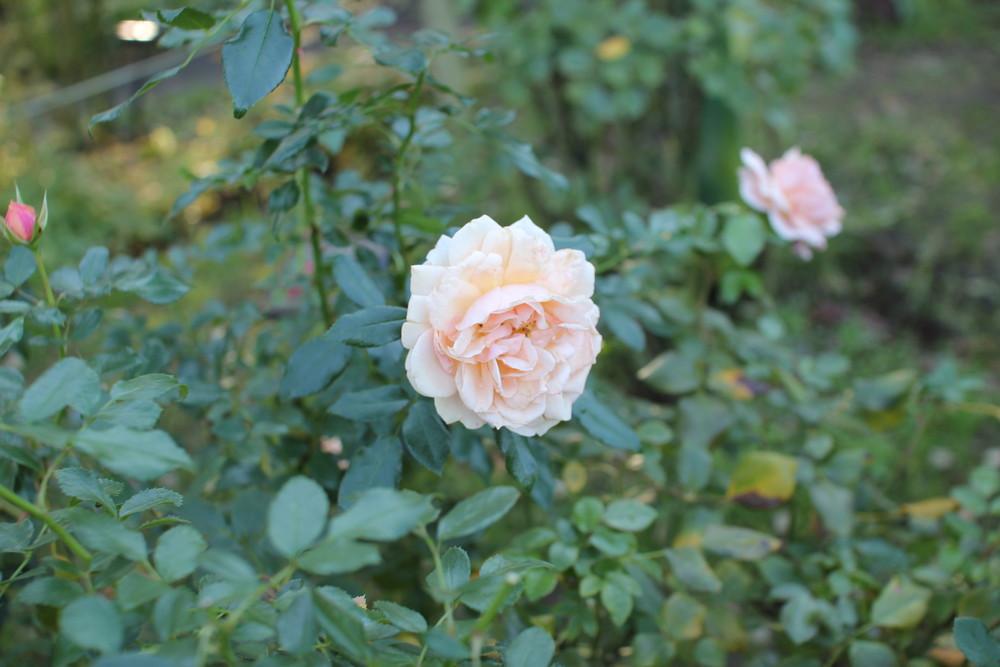 11月の京成バラ園開花情報ガーデンオブローゼズ