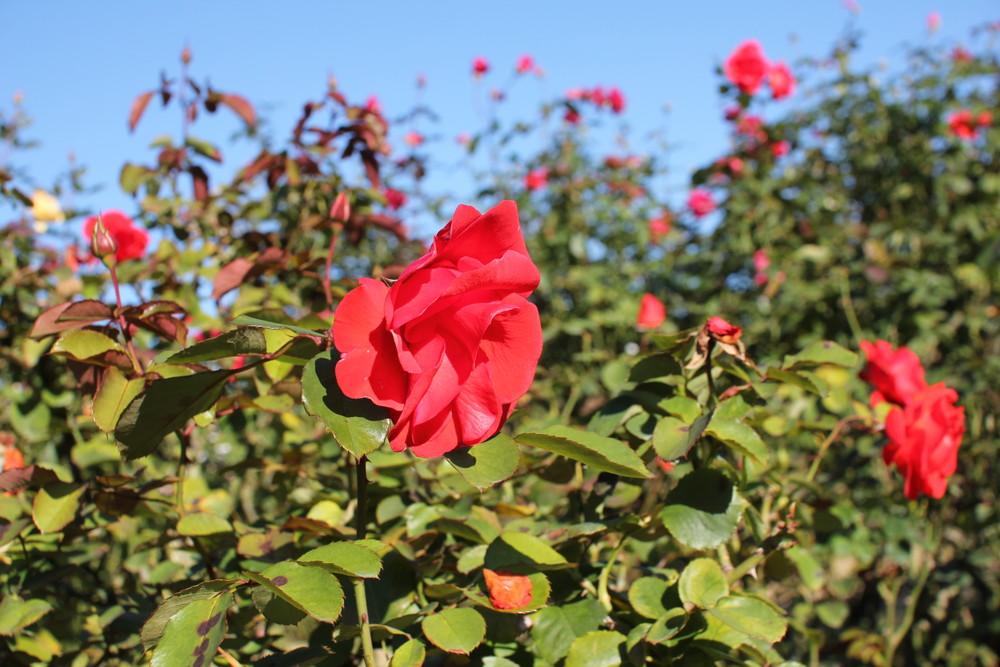 11月の京成バラ園開花情報チンチン
