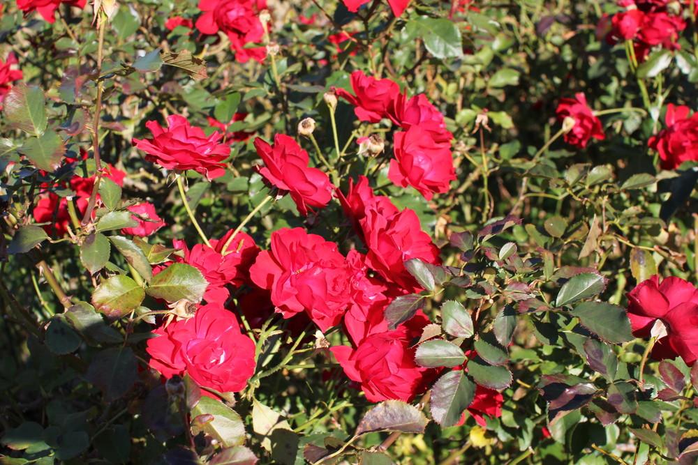 11月の京成バラ園開花情報錦