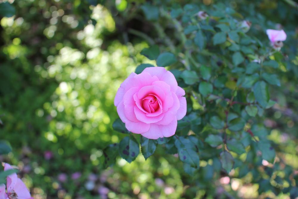 11月の京成バラ園開花情報サマーモルゲン