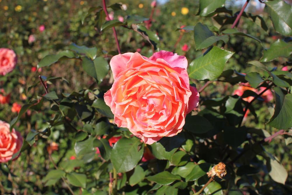 11月の京成バラ園開花情報アルブレヒトデューラーローズ