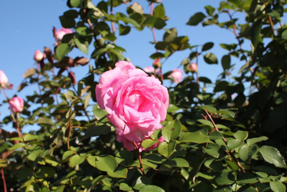 11月の京成バラ園開花情報ビバリー