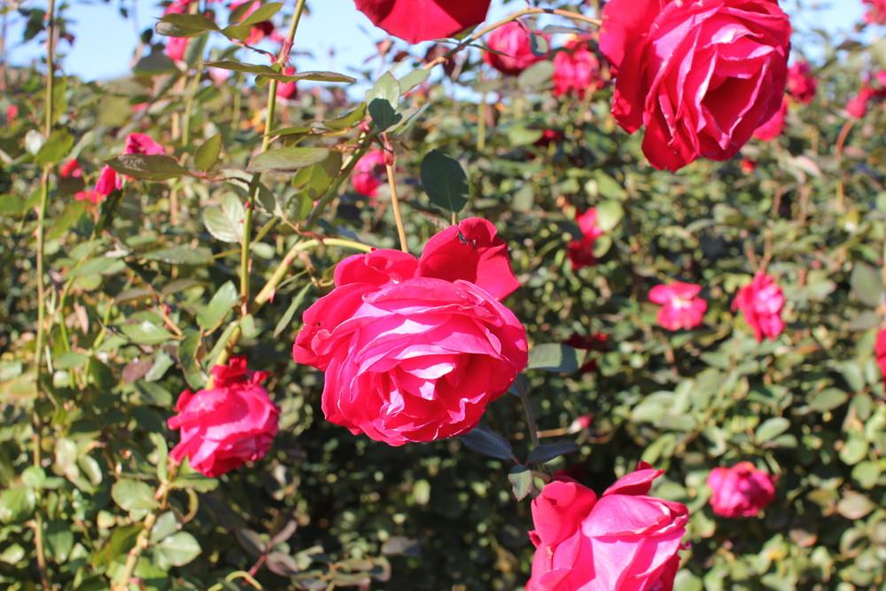 11月の京成バラ園開花情報メリナ