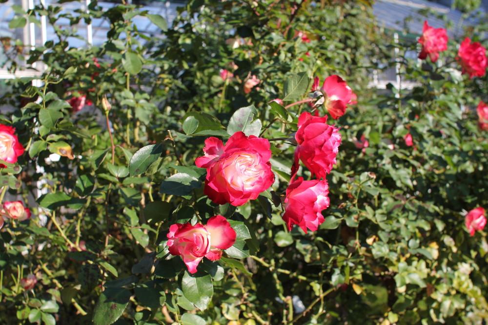 11月の京成バラ園開花情報ジュビレデュプリンスドゥモナコ