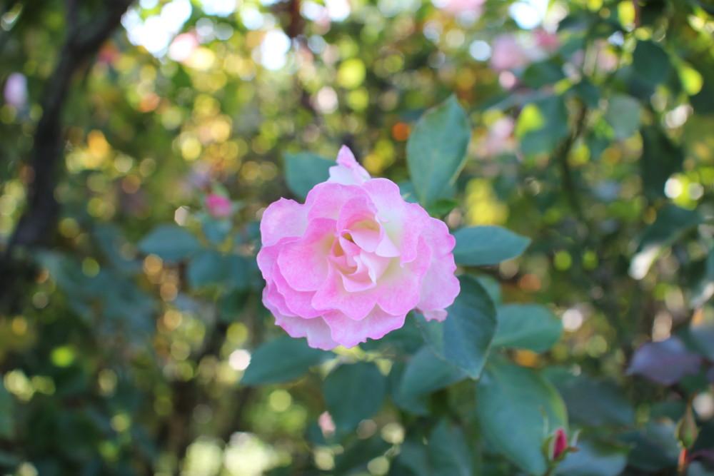 11月の京成バラ園開花情報マチルダ