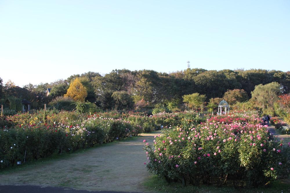 11月の京成バラ園開花情報