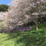 今年(2017年)の長津川緑地のお花見状況