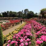 習志野市谷津バラ園の開花情報記録をアップ@2017春5月