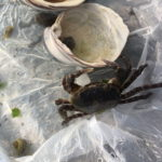 稲毛ヨットハーバーの海岸でカニGET