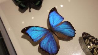 昆虫展でモルフォ蝶の美しさから思う事